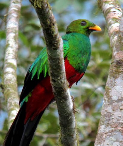 Golden-headed_Quetzal