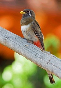 Elegant Trogon, female,