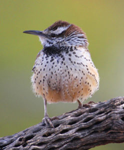 Meet Your Common Birds | Tucson Audubon Society