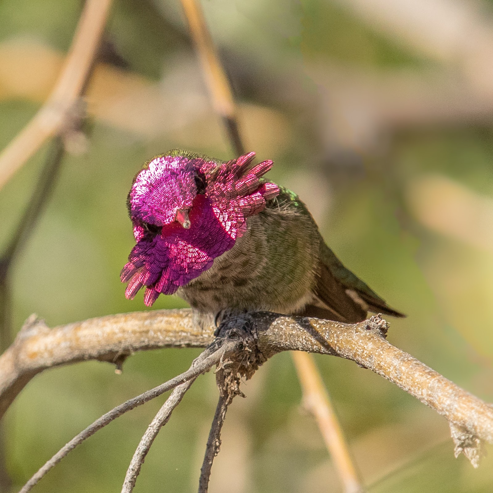 Plumage Pro - Anna's Hummingbird by Mick Thompson‎
