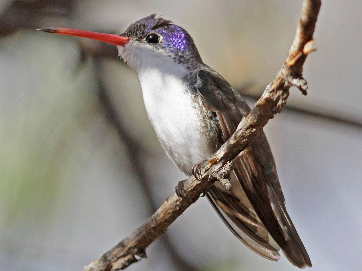 Fledgling Photographer - Violet-crowned Hummingbird by Thor Manson