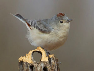 Lucy's Warbler by Jeremy Hayes