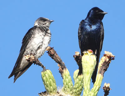Purple Martin pair by Keith Wiggers